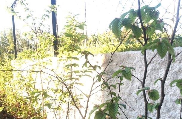 Agnbøk hønefoss